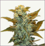 Blueberry mix auto-flowering marijuana seeds